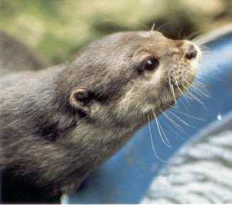 Beenie the Otter