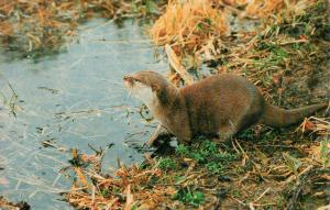 Bee - a very tame Asian short-clawed otter