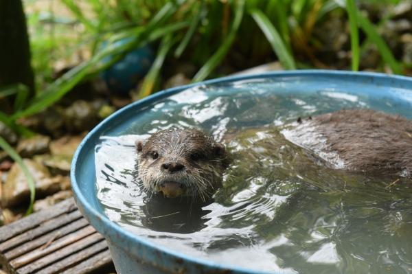 Rudi the Otter swimming