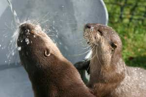 The tame otters promoting clean water